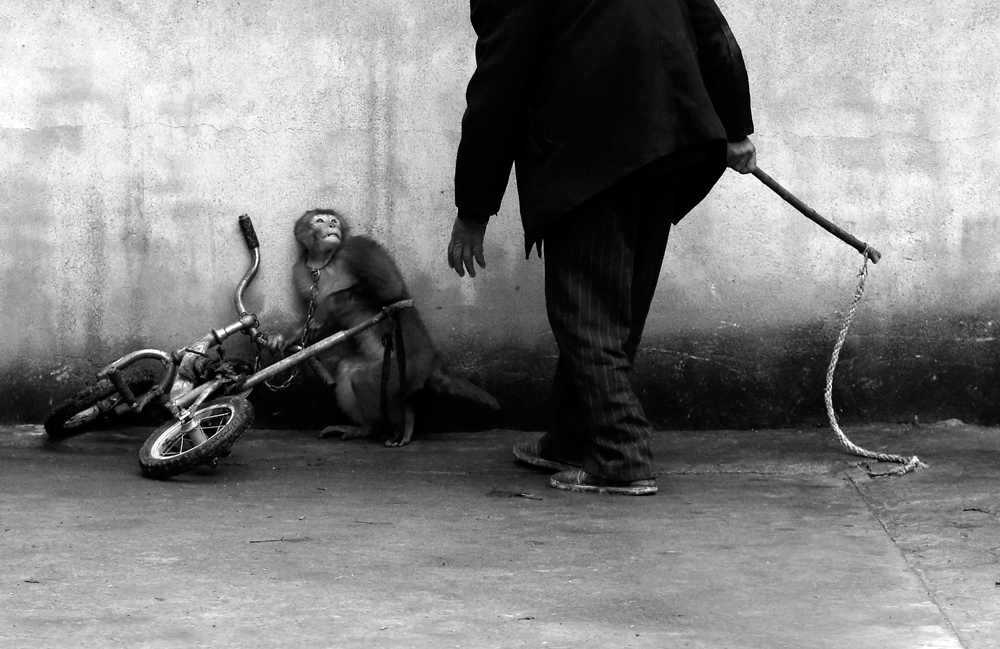 Una scimmia viene addestrata per lavorare nel circo a Suzhou, provincia di Anhui, Cina. Primo premio natura singole. (Yongzhi Chu)